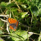 Lycaena phlaeas (Linnaeus, 1761), mâle. Les Hautes-Lisières (Rouvres, 28), 25 octobre 2015. Photo : J.-M. Gayman