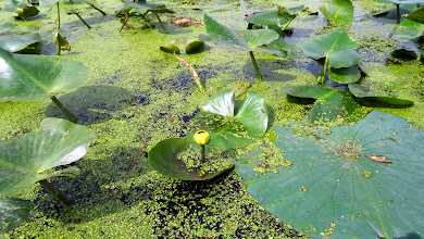 Photo: Spatterdock - Yellow Water Lily