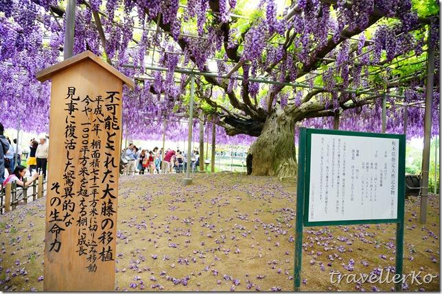 在最美的季節遇見足利紫籐花卉公園:門票交通攻略實況(下)18