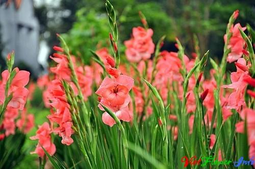 Tặng Hoa lay-dơn (lay ơn) mang ý nghĩa của sự hẹn hò