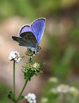 Foranderlig blåfugl, Plebejus idas, han3.jpg