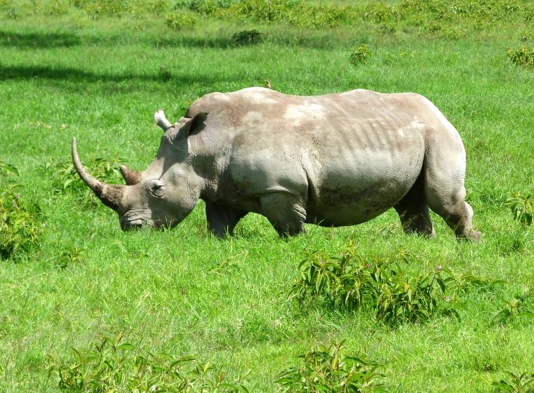 #wildlifesafaritanzania #Travelbloggerindia #Travelblog #Tanzaniatravelblog #tanzaniatourism #Tanzaniawildlifespotting #wildlifesafariafrica #Ngorongoroconservationarea #rhino