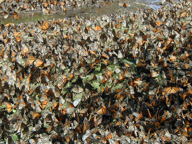 Monarchs in Mexico - drinking at seep (Don Davis)