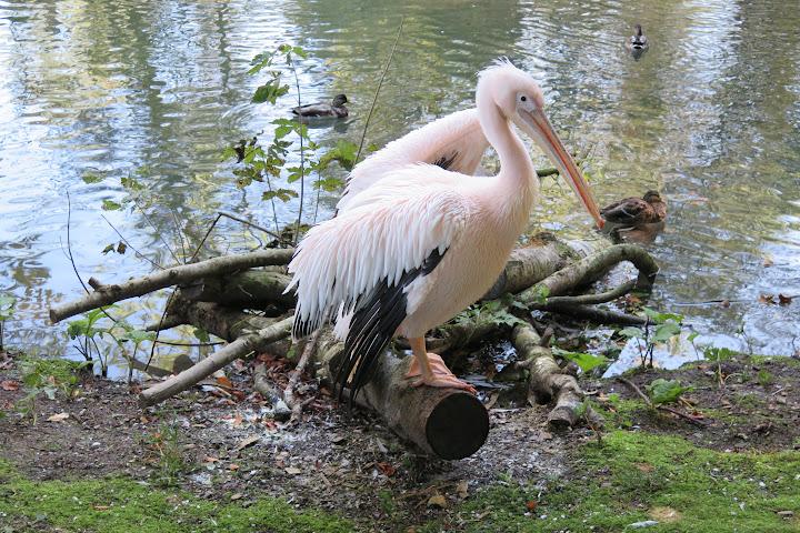 Imposant sind die Pelikane
