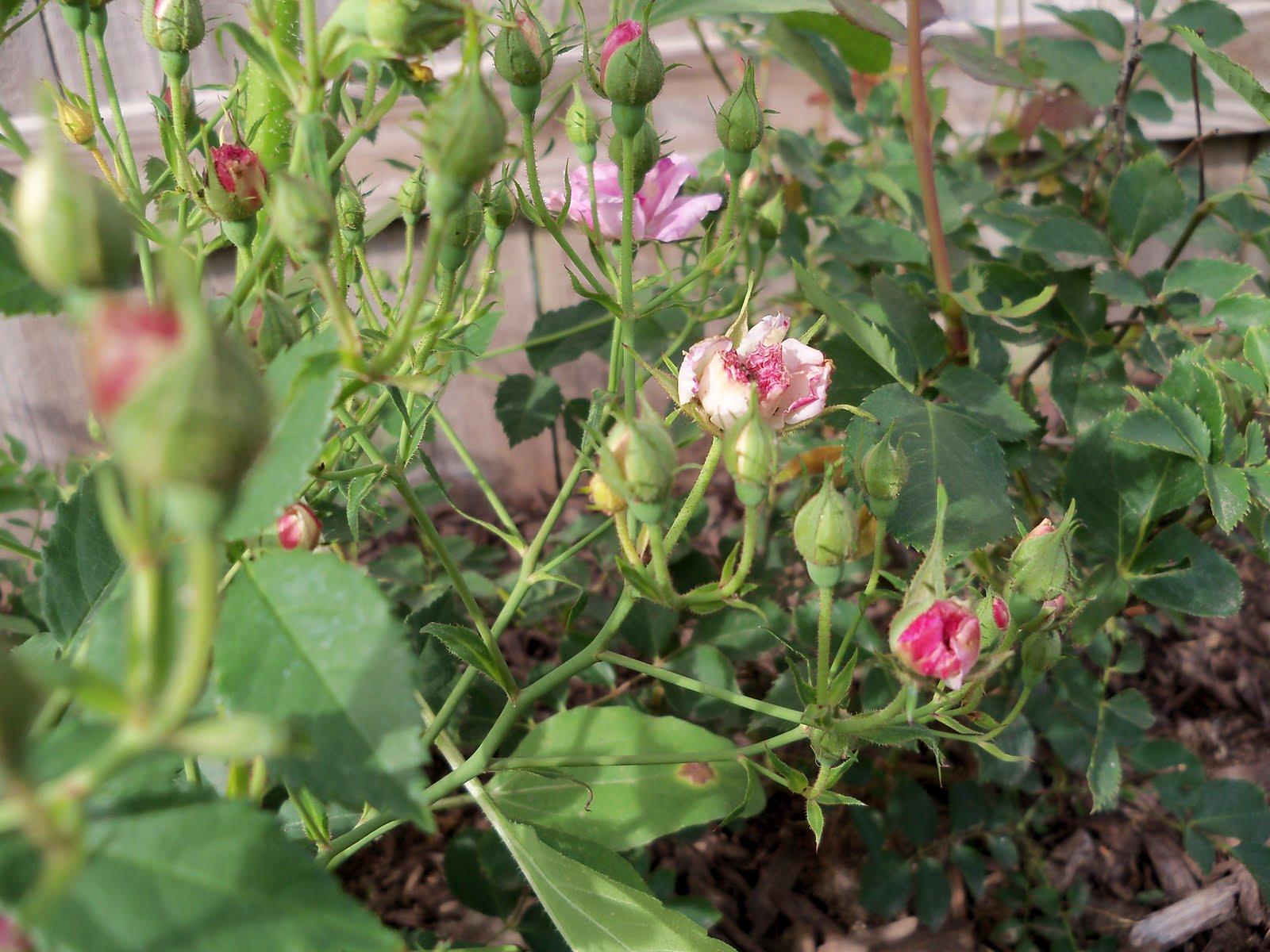 Gardening 2010 - 101_1413.JPG