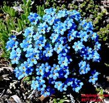 Forget me not blue ( hoa lưu ly xanh)