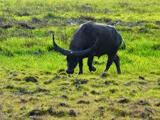 wildlife-water-buffalo-9.jpg
