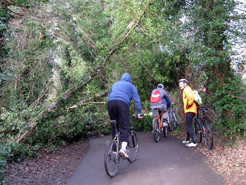 Cyclists going around fallen tree