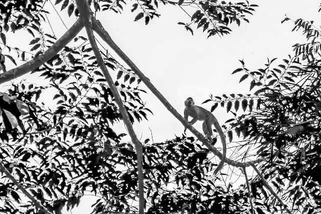 Tamarin. Bosque Bavaria (Villavicencio, Meta, Colombie), 9 novembre 2015. Photo : B. Lalanne-Cassou