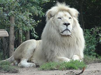 2017.08.26-010 lion blanc