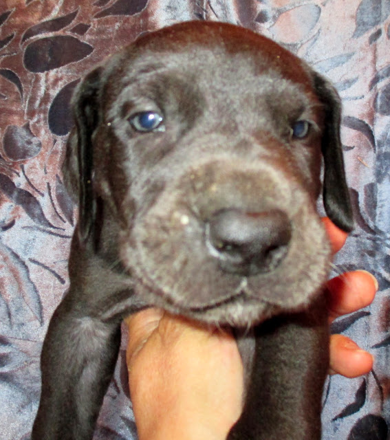 Available dark chocolate male puppy