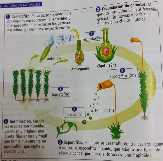 Formacion de gametos en la reproduccion asexual de una