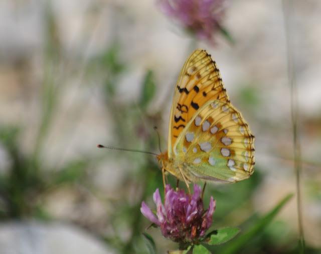 Speyeria aglaja (Linnaeus, 1758), mâle. Versant nord de la Montagne de Lure (1450 m), (Vaucluse), 23 juin 2015. Photo : J.-M. Gayman