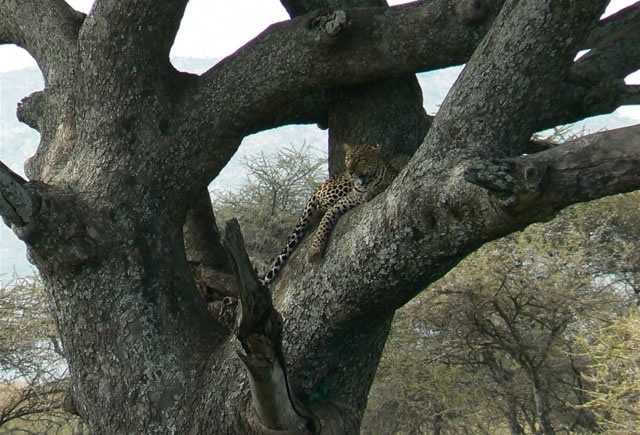 Leopard resting in the crotch of a tree