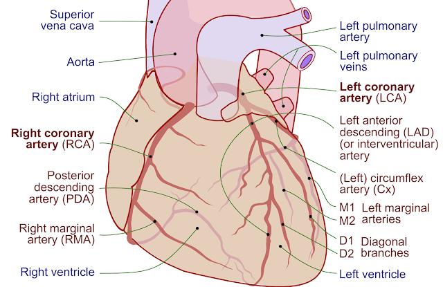 Wikipedia drawing of coronary arteries.