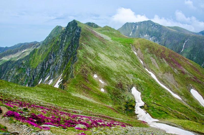 Pe creasta Fagarasului printre bujori de munte