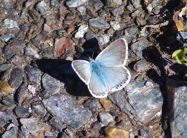 Polyommatus coridon coridon (PODA, 1761), mâle. Tras le Mont, 800 m, Cocurès (Lozère), 10 août 2013. Photo : J.-M. Gayman