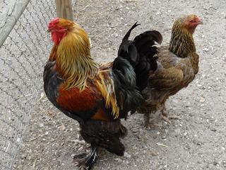 2016.07.27-017 poules de Brahma