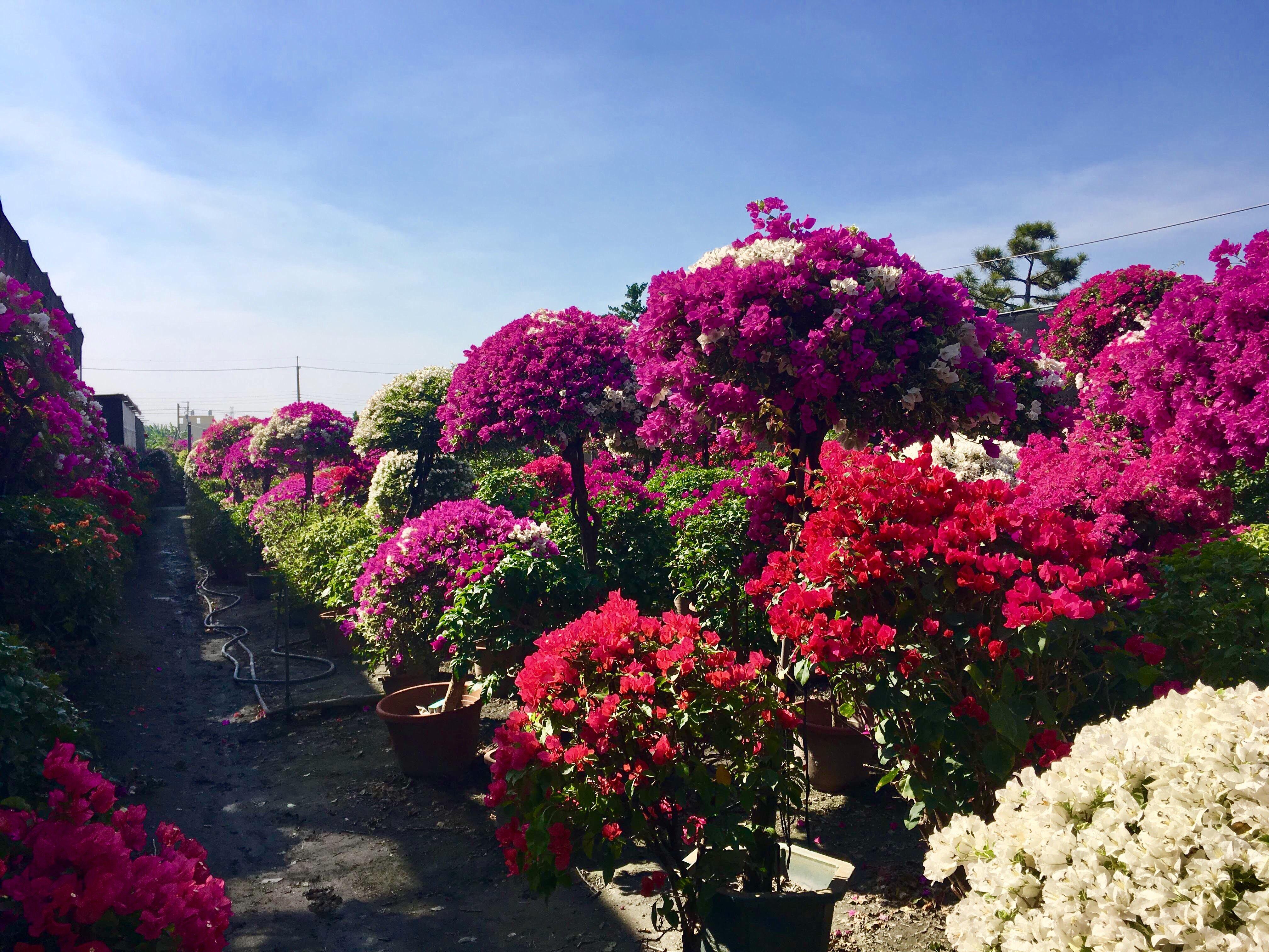 tianwei highway garden changhua Taiwan flowers bougeanvilla
