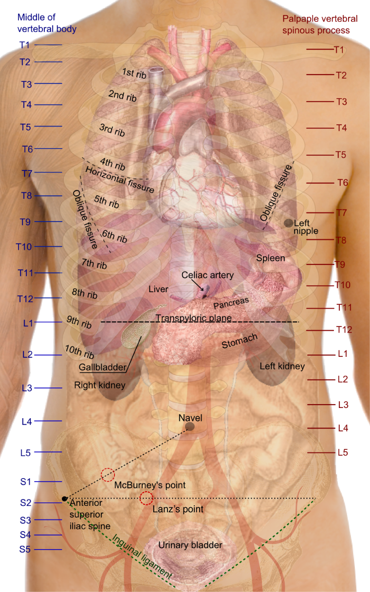 マックバーネー・ランツ点Surface_projections_of_the_organs_of_the_trunk.png