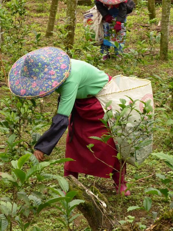 Puli, Nantou county, cueillette de thé - P1050597.JPG