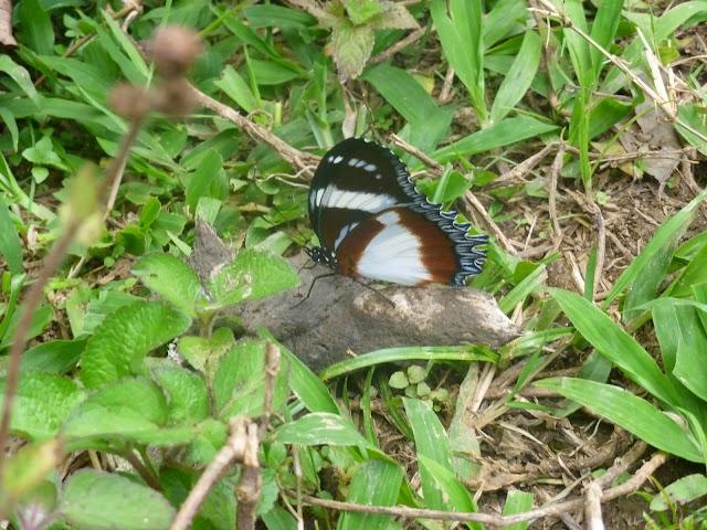 Hypolimnas dexithea (HEWITSON, 1863), endémique. Parc de Mantadia (Madagascar), 28 décembre 2013. Photo : J. Marquet