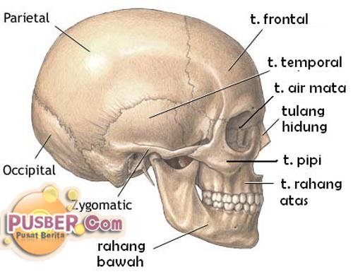 Fungsi dan Struktur Rangka Manusia, kerangka tubuh manusia dan fungsinya