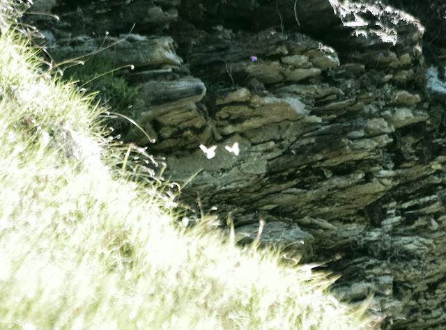 Parnassius sacerdos STICHEL, 1806 (P. phoebus), mâles. Fex Curtins, 2100 m (Engadine, Grisons, CH), 12 juillet 2013. Photo : J.-M. Gayman