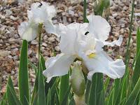 'Hi Ho Silver' White Hybrid Iris