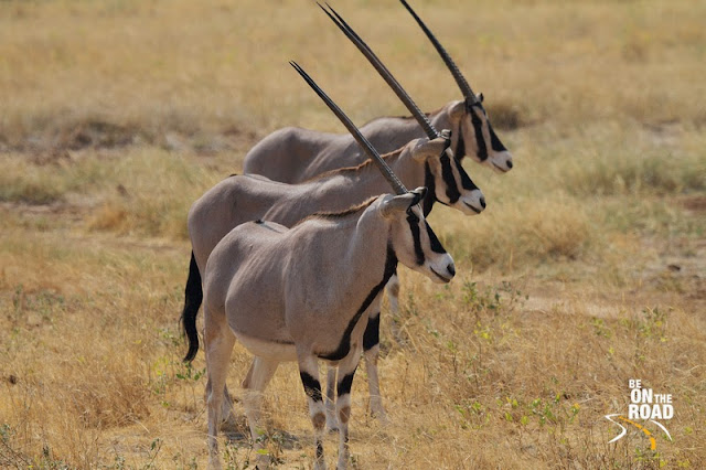 Beisa Oryx in a straight line