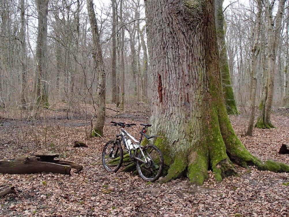 Le chêne Saint-Louis à Heimsbrunn