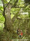 ミズナラ 森のくらしの郷の上の方には、こんな感じの大木がたくさんある。木登りにぴったりのものもある。わくわくして歩く。
