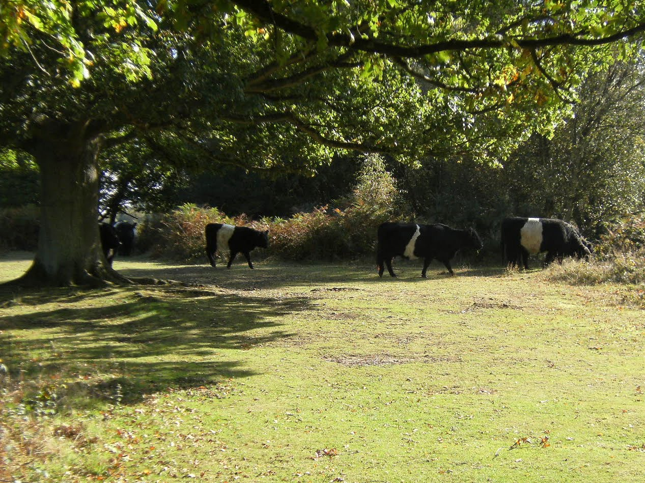 DSCF2057 Belted Galloways on Headley Heath