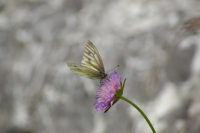 Pieris bryoniae HÜBNER, 1806, femelle (1700 m). Super Sauze, 13 juillet 2010. Photo : J.-M. Gayman