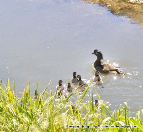 photo of wood ducks swimming