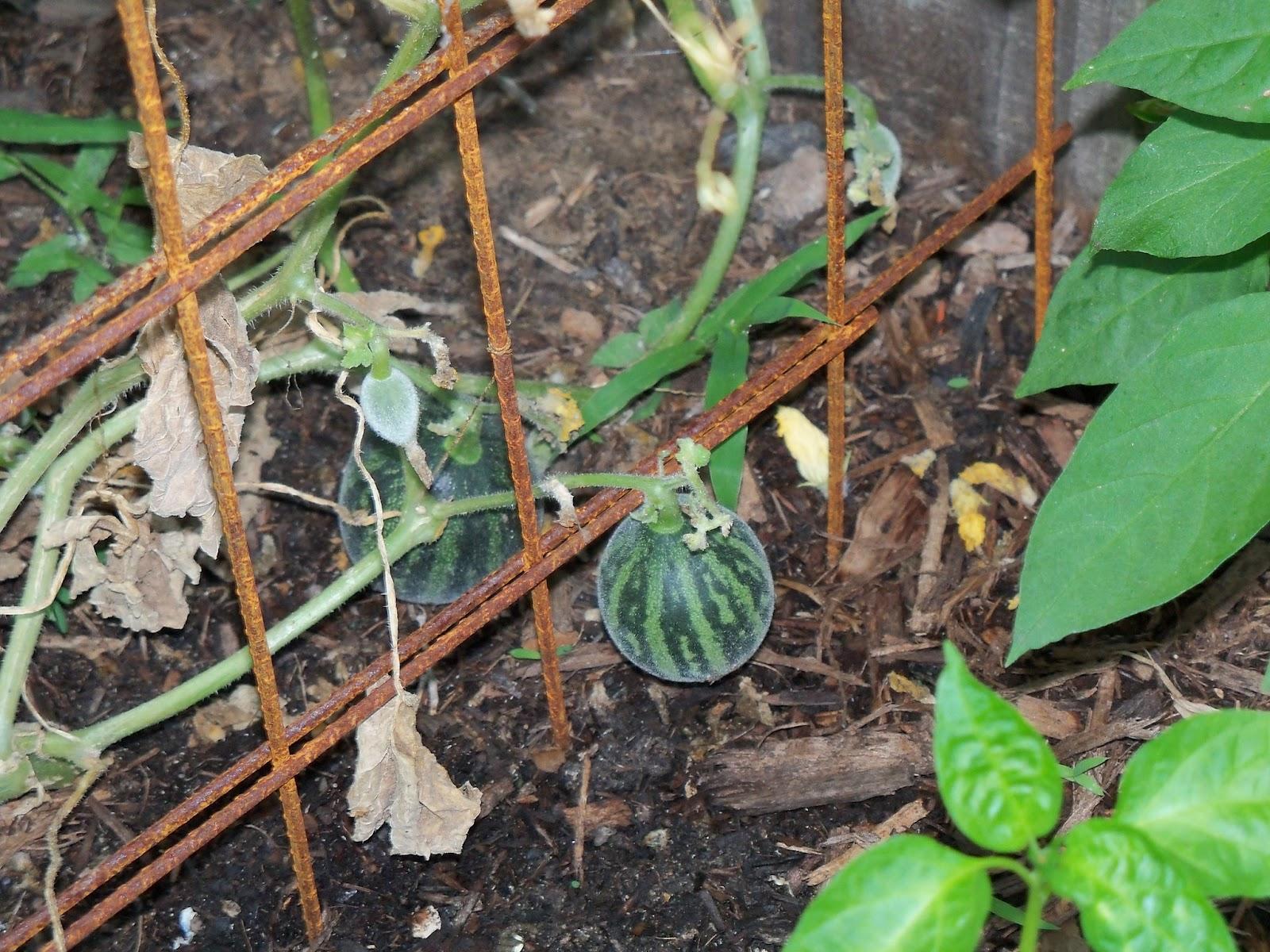 Gardening 2012 - 115_2371.JPG