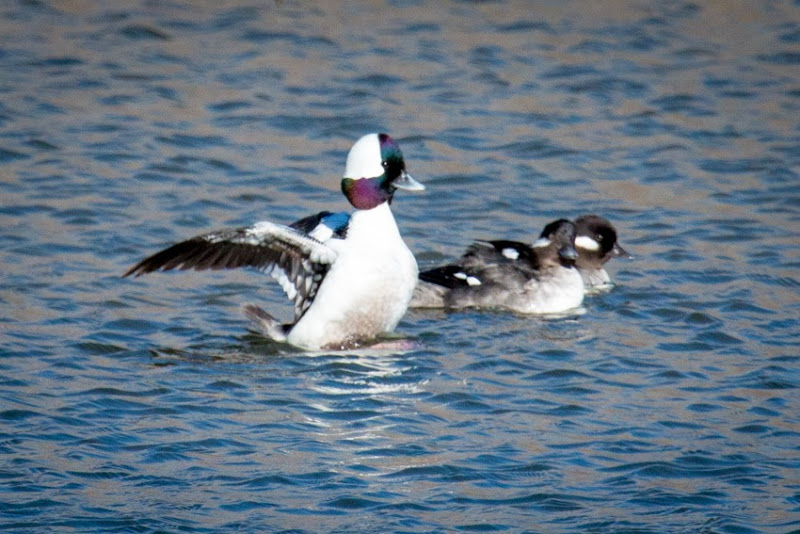 Bufflehead Male and Females IMG_0270