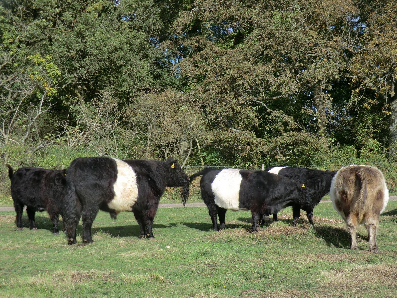 CIMG5126 Belted Galloways on Colley Hill