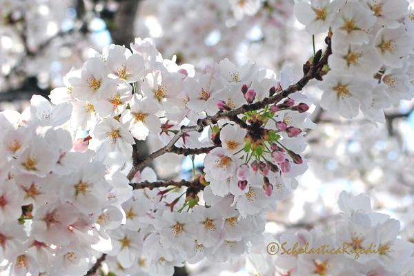 Cherry Blossoms of Jinhae