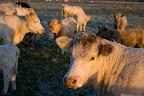 Rinder bei Sonnenaufgang im Teufelsmoor
