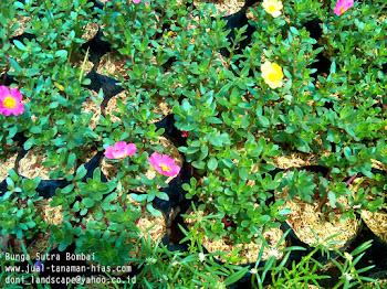 Jual Pohon Lili Paris | Lili Brazil | Petani tanaman hias