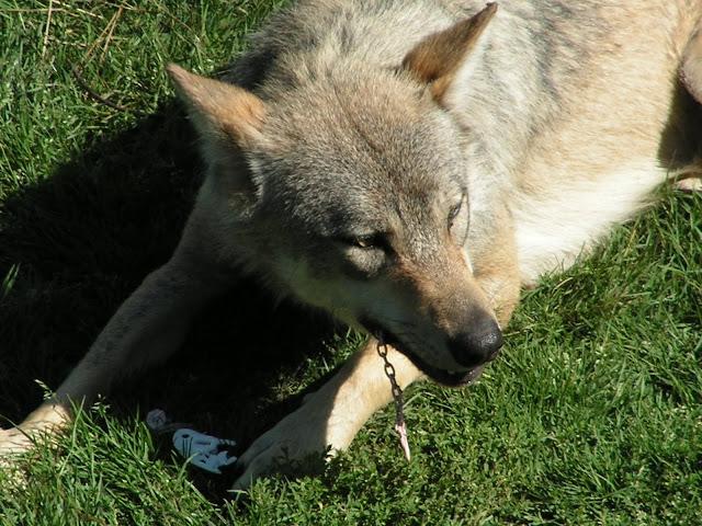 Les Loups de Chabrière PICT0522