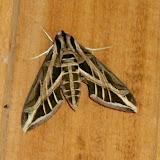 Sphingidae : Macroglossinae : Eumorpha vitis vitis (L., 1758). Rio Teles Pires, município de Nova Canaã do Norte (Mato Grosso, Brésil), 11 juin 2011. Photo : Cidinha Rissi