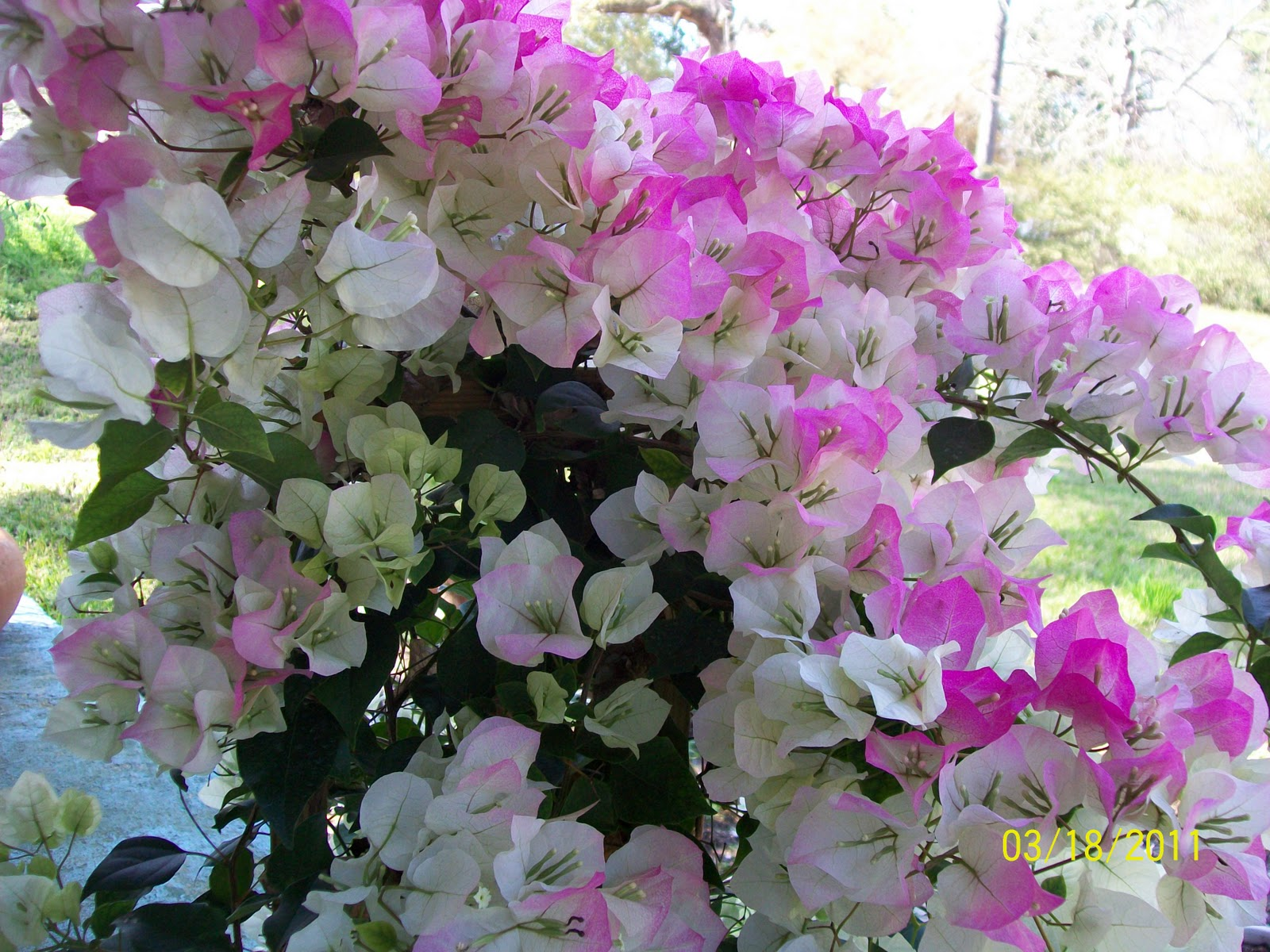Bougainvillea Trellis Ideas Part - 31: A Southern Garden By Becca - Blogspot