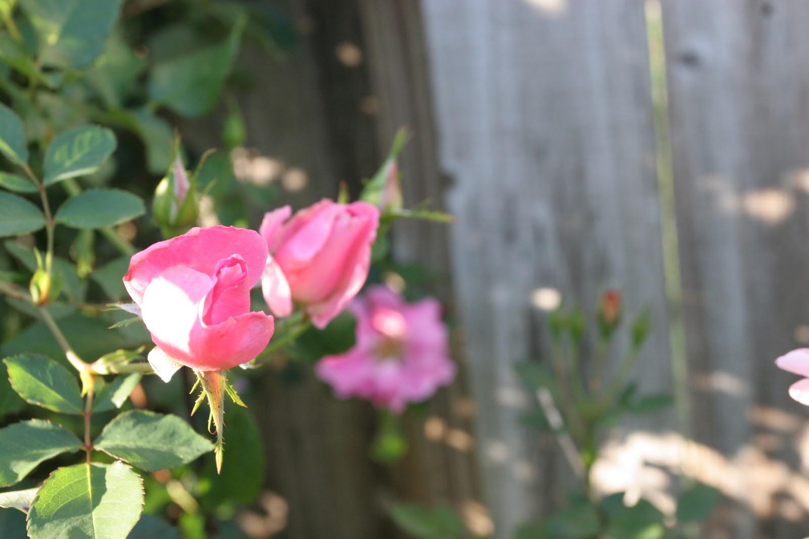 Gardening 2012 - IMG_2881.JPG