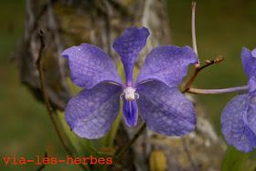 Orchidee Birmanie decembre 2013.jpg