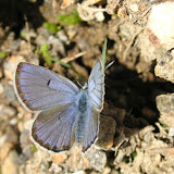 Polyommatus sieversii goranus TSHIKOLOVETS, 1993. Sangou-Dara, 2900 m, Pamir de l'ouest, est de Khorog, 17.VII.2009, Tadjikistan. Photo : J.-F. Charmeux