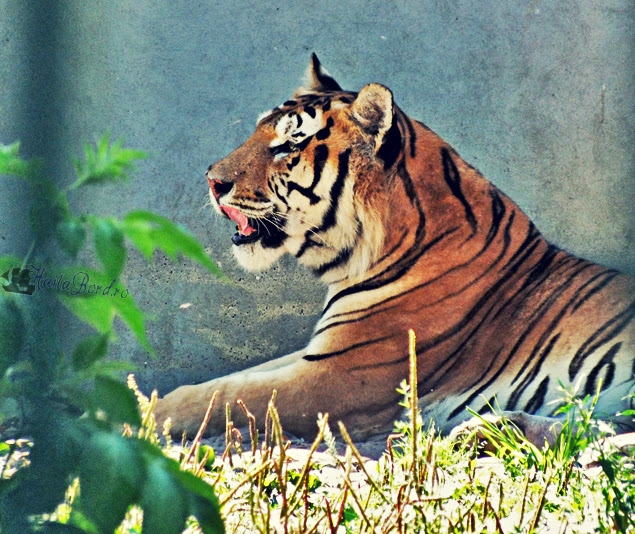 tigru zoo radauti