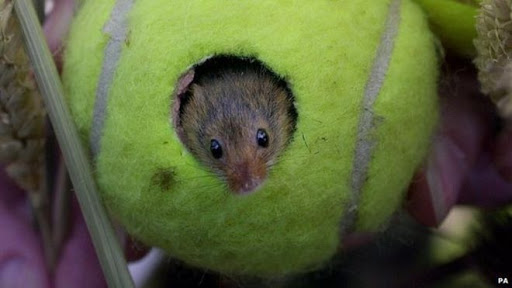 tennis-ball-mouse-home-1
