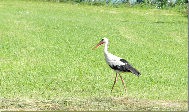 Storch in Anif2
